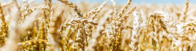 C'est l'heure de la récolte aux Moulins Bodson de Villers-l'Evêque!