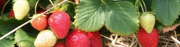 10 ans de l'ADL: La fraise d'Othée dans tous ses états