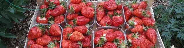 Les premières fraises d'Othée sont là